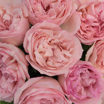 Hues of Pink Garden Roses up close