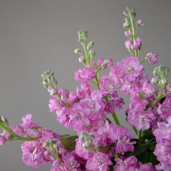 El Aleli Hues of Pink Flower