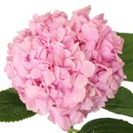 Hues of Pink USA Grown Hydrangea Flower Up Close
