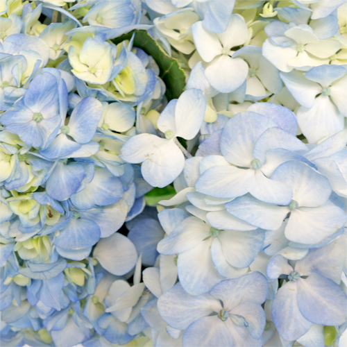 Hydrangea Bicolor Ivory with Hint of Blue Flower Up Close