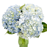 Bicolor Ivory with Hint of Blue Hydrangea Wholesale Flower In a vase