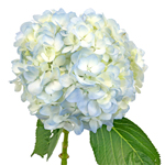 Hydrangea Bicolor Ivory with Hint of Blue Flower Stem View