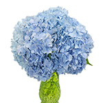 Jumbo Blue Hydrangea Wholesale Flower In a vase