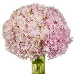 Blush Hydrangea Wholesale Flower In a vase