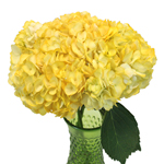 Bright Yellow Airbrushed Hydrangea Wholesale Flower In a vase