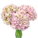 Giant Garden Pink Hydrangea Flower in a Vase