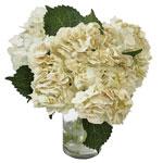 Gold Flecked White Hydrangea Wholesale Flower In a vase