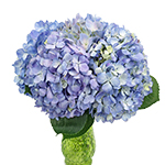 Hues of Lavender Hydrangea Wholesale Flower In a vase
