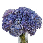 Lavender Blue Hydrangea Wholesale Flower In a vase