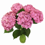 Light Pink Hydrangea Wholesale Flower In a vase