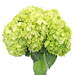 Lime Green Hydrangea Wholesale Flower In a vase