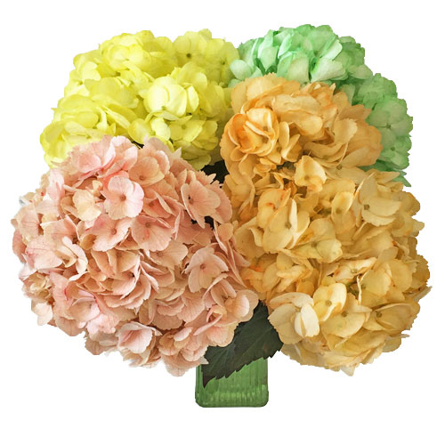 Multicolor Hydrangeas Wholesale Flowers In a vase
