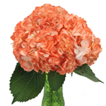 Orange Airbrushed Hydrangea Wholesale Flower In a vase