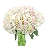 Pale Vintage Hydrangea Flower in a Vase