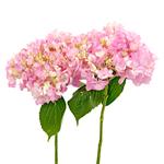 Pink Blossom Hydrangea Stem View
