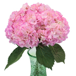 Pink Enhanced Hydrangea Wholesale Flower in a Vase