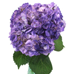 Purple Airbrushed Hydrangea Wholesale Flower In a vase