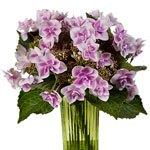 Raspberry Cream Hydrangea Wholesale Flower In a vase
