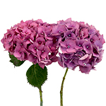 Hydrangea Raspberry Flower Stem View
