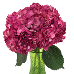Raspberry Pink Airbrushed Hydrangea Wholesale Flower in a Vase