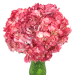 Sizzling Salmon Pink Airbrushed Hydrangea Wholesale Flower in a Vase