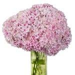 Strawberry Blush Hydrangea Wholesale Flower In a vase