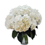 Giant Pure White Hydrangea Wholesale Flowers in a Vase