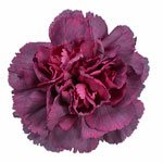 Hypnosis Hot Pink and Purpleberry Carnation Flower Bloom