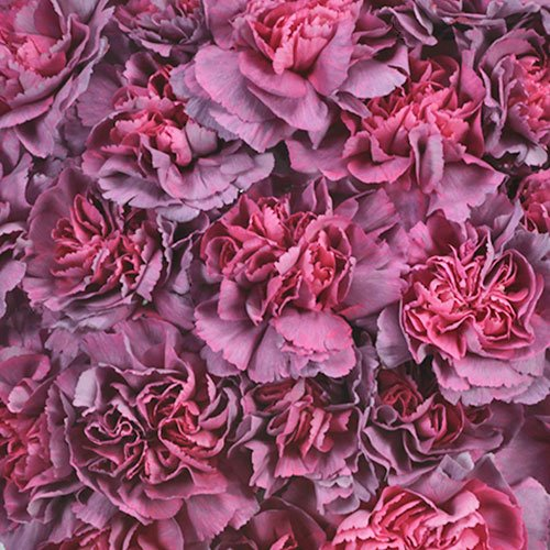 Hypnosis Hot Pink and Purpleberry Sunset Wholesale Carnations Up close