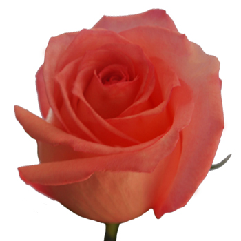 Icaya Rose Up Close