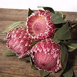 Pink impressive protea bulk wedding flower