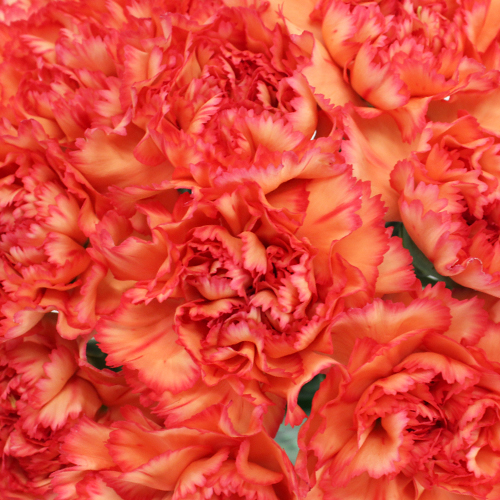 Indiana Dark Orange Sunset Wholesale Carnations Up close