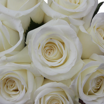 Innocence White Roses up close