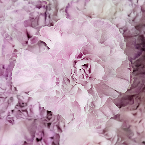 Inory Pink and Purple Carnation Flowers Up Close