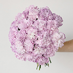 Inory Pink and Purple Carnation Flower In a hand