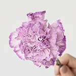 Inory Pink and Purple Carnations side stem