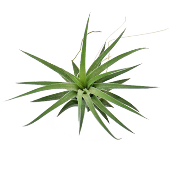 Ionantha Mexican Air Plants for DIY Arranging
