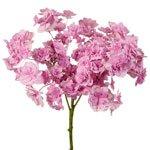 Irresistible Pink Double Hydrangea Wholesale Flower Up Close Stem