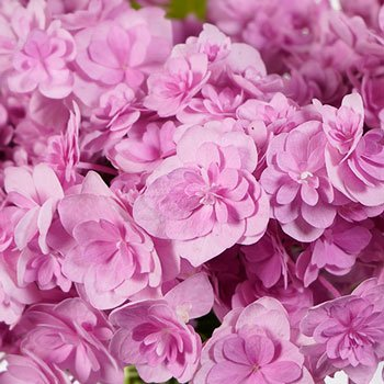 Irresistible Pink Double Hydrangeas Up Close