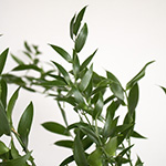 Wedding greenery italian ruscus filler flower sold as bulk