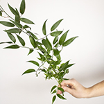 Single stem fresh cut italian ruscus greenery sold for delivery