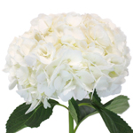 Ivory Wedding hydrangea flower stem view