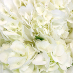 Ivory with Green Hydrangea Wholesale Flower Up close