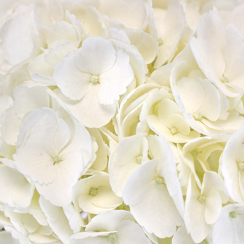 Ivory Hydrangea Wholesale Flower Up close