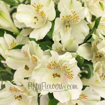 Ivory White alstroemeria Wholesale Flower Upclose