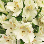 Ivory White alstroemeria Wholesale Flower Upclose