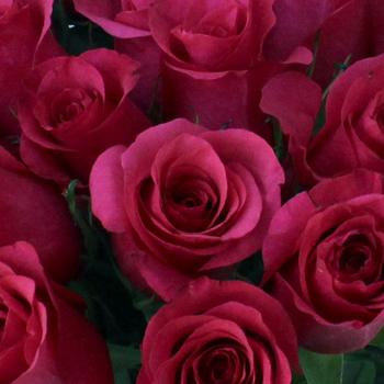 Janeiro Dark Pink Rose