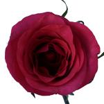 Janeiro Dark Pink Roses Stem