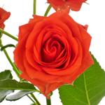 Jazzabell Dark Orange Wholesale Rose Bunch in a hand