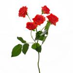 Jazzabell Dark Orange Rose Stem